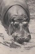 - ANIMAUX  - HIPPOPOTAMES - PARC ZOOLOGIQUE DU BOIS DE VINCENNES - Hippopotames
