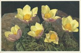 AK 0558  Alpenbllumen - Schwefelgelbe Anemone  / Künstlerkarte Ca. Um 1920 - Blumen