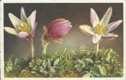 AK 0558  Alpenbllumen - Pelzanemone  / Künstlerkarte Ca. Um 1920 - Blumen