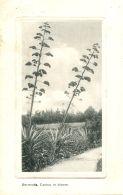 N°52469 -cpa Bermudes -cactus In Bloom- - Bermudes
