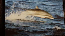 CPM  DAUPHIN DE FRASER  WWF PHOTO ROBERT PITTMAN - Dauphins