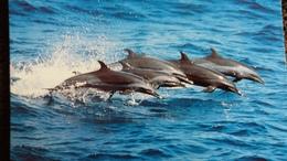 CPM  ATLANTIC SPOTTED DOLPHIN DAUPHIN  WWF PHOTO ROBERT PITMAN - Dauphins