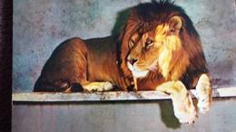 CPSM  LION BIRAMA D AFRIQUE OCCIDENTALE ZOO DU TERTRE ROUGE DE LA FLECHE SARTHE - Lions