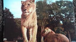 CPSM  LIONS RESERVE AFRICAINE CHATEAU DE THOIRY EN YVELINES - Lions