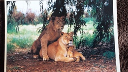 CPM  LION LIONNE LIONCEAU ANIMAUX SAUVAGES CLICHE ZEFA - Lions