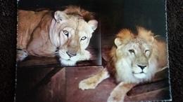 CPSM LYON PARC DE LA TETE D OR BRUTUS LION ROI DU ZOO ET MADAME - Lions