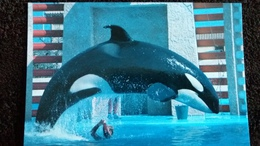 CPM MARINELAND D ANTIBES LE SAUT KAMIKAZE SPECTACLE D ORQUES 11  1987 - Animali