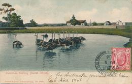 TRANSVAAL - Johannesburg - 1906 , Ostriches Bathing - Strausse Beim Baden - Südafrika