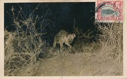 KENIA , UGANDA , TANGANYIKA - DARESSALAM  -  1935 , Hyäne - Kenia
