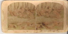 3319. Red Fox And Their Young At Play. - Stereoscope Cards