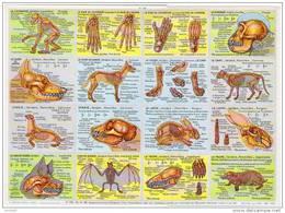 Squelettes Chien Chat Lapin Otarie Taupe Chauve Souris Affiche Pédagogique Format 24x33 Cm état Superbe 1957 - Tiere