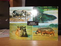 POSTCARD ANIMALS OF ZIMBABWE  HIPPOPOTAMI DAVID TRICKETT