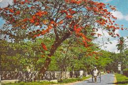 Asie SRI LANKA  Flowering Flambouyant On A Colombo Road  (B) (flamboyant) (Editions :Ceylon Pictotrials CP 76*PRIX FIXE - Sri Lanka (Ceylon)