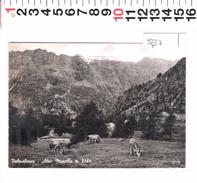 5437  VALMALENCO ALPE MUSELLA MUCCHE - Sondrio