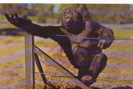 Lowland Gorilla - Gorille - Kansas City Swope Park Zoo - Animal - 2 Scans - Autres