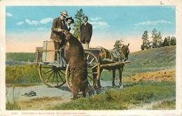WYOMING - YELLOWSTONE - OURS - FEEDING A WILD BEAR - YELLOWSTONE PARK. - Yellowstone