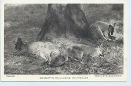 Bennett;s Wallabies, Whipsnade - Animals
