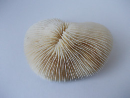 - Corail Fungia Fungites - - Minéraux & Fossiles