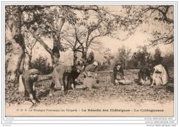 LA  DORDOGNE PITTORESQUE,,,,( En PERIGORD ),,,,,LA RECOLTE Des  CHATAIGNES,,,,,LO COHTOGNOSOU,,,, TBE,,, - Landbouw