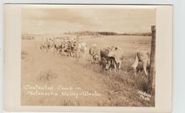 ALSAKA - CONTENTED COWS IN MATANUSKA VALLEY ALSKA - Etats-Unis
