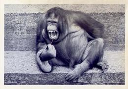 Humor - Umoristica - Scimmia - Laughing Orang Outang - 766 - Formato Grande Non Viaggiata - Humor