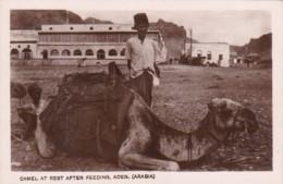 Yemen Aden Camel At Rest After Feeding Real Photo - Yemen