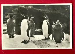 FJL-14  Pingouins Royaux  Königs-Pinguine Sudpolar-Panorama, Pole Sud. Cachet 1930 - Tierwelt & Fauna