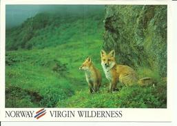 A) 2 FOXES IN VIRGIN WILDERNESS, NORWAY. - Norvège