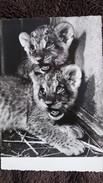 CPSM LIONCEAU BIENNALE PHOTO CINEMA OPTIQUE GRAND PALAIS 1955 PHOTO ADOX - Lions