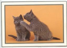 Chartreux  - Animal's Couple Chat Chaton - Katzen