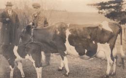 RPPC - Real Photo - Defender Paper Logo - 1920-1945 - Men & Cows - Animated - Unknown Origin - 2 Scans - Postcards