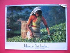 Tea-plucker Hill Country - Sri Lanka (Ceilán)