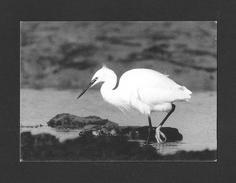 ANIMALS - ANIMAUX - OISEAUX DE L'ILE DE RÉ - AIGRETTE GARZETTE - BIRDS - PHOTOGRAPHIE LAURENT ARTHUR - Oiseaux