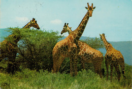KENYA    GIRAFFES           2 SCAN          (VIAGGIATA) - Kenia