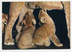 Leões, Lions And Cubs, Leones  ( 2 Scans ) - Lions