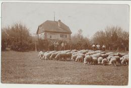 Allemagne - Göppingen : Foto-Karte - Carte-Photo : Moutons (3.4.1915) - Goeppingen