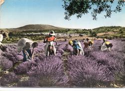 Récolte De La Lavande En Provence Agriculture Culture - Landwirtschaftl. Anbau