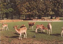 (Rhône) Lyon - 69 - Parc De La Tête D'Or, Le Troupeau De Daims (1965) - Otros