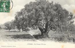 Hyères - Un Champ D'oliviers - Parfumerie Chamboulier - Arbres