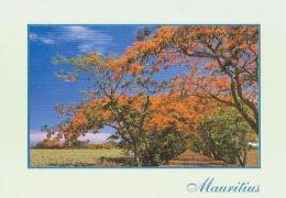 Ile Maurice        H23        Flamboyants - Mauritius