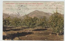 LEMON GROVE IN SO CALIFORNIA NEAR SNOW CAPPED MOUNTAINS - Etats-Unis