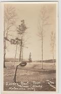 MATANUSKA VALLEY (ALASKA) - LOVERS KNOT TREE - PALMER - Etats-Unis