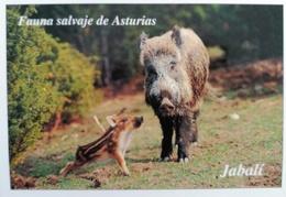 POSTAL PICOS DE EUROPA FAUNA SALVAJE JABALI - Cerdos