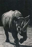 Le Rhinocéros D'Afrique - Animals