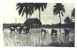 Cpa Carte-photo Cochinchine - Rizière - Viêt-Nam