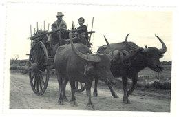 Cpa Carte-photo Cochinchine / Vietnam - Attelage De Buffles - Viêt-Nam
