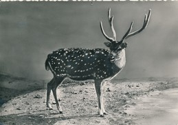 Cerf Axis - édit Linphot - Animals