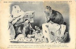 Grenoble - Muséum D'Histoire Naturelle - Faune Alpine, Les Marmottes - Carte E.R. Non Circulée - Musées