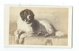 .Ancienne PHOTO Circa 1860 CDV De CHARDON, Rue Racine à PARIS (75), édit. BULLA Frères.. CHIEN - Photographs