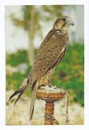 CPM Arabian Falcon Oiseau Rapace Diurne - Bahreïn